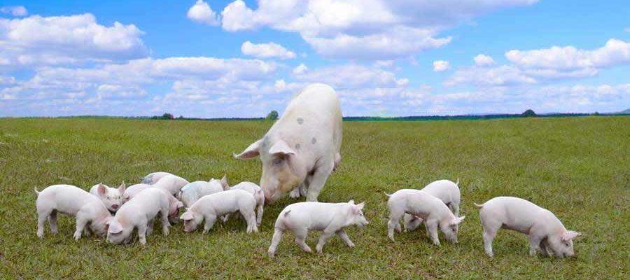 Embrapa lança curso online sobre manejo de dejetos suínos